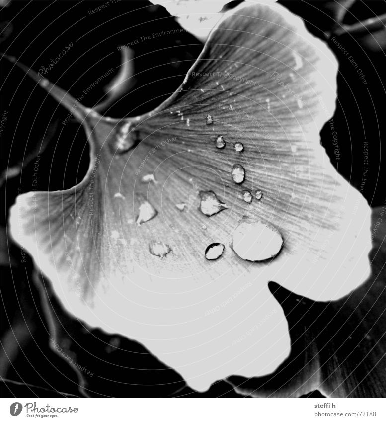 ginkgo Tree Drops of water Rain Plant Black & white photo Water