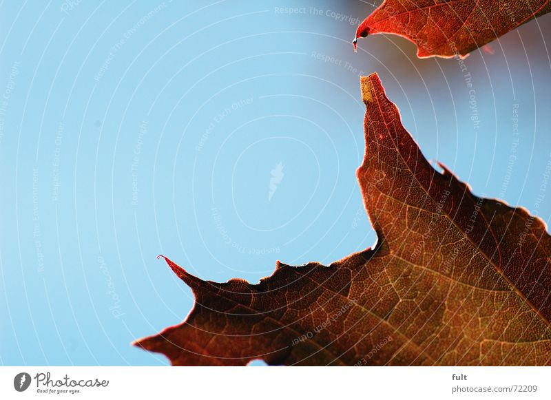 leaf Leaf Maple tree Red Edge Nature Life Structures and shapes Corner