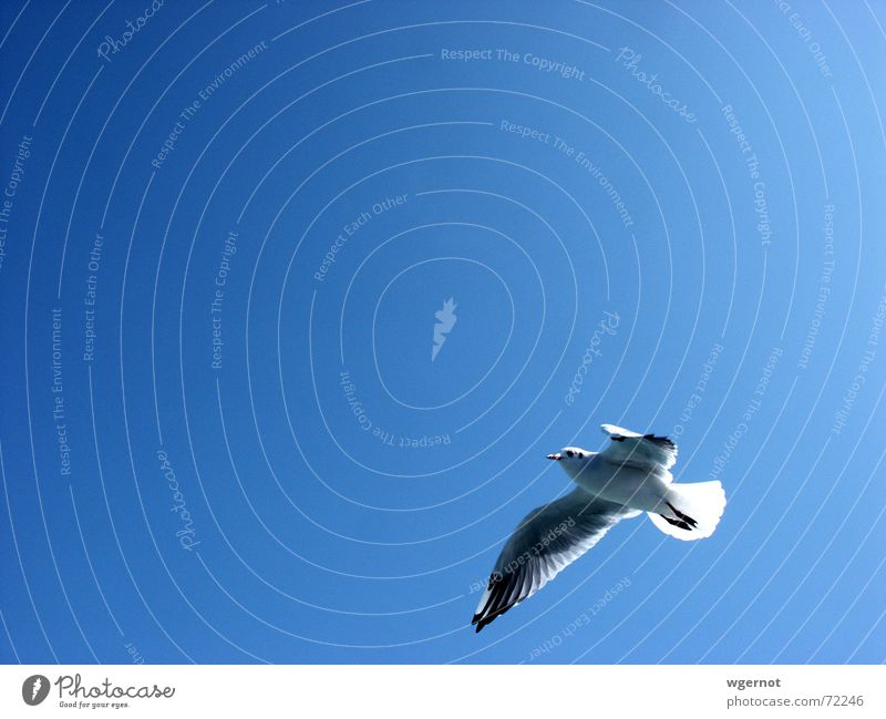 Sky Blue Freedom Bird Flying Aviation Seagull