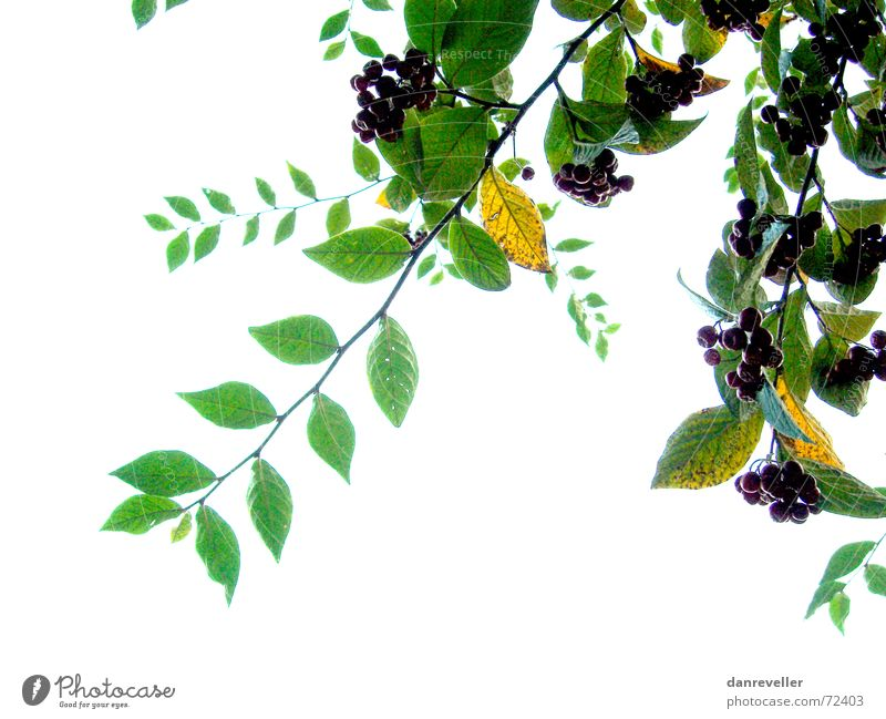 Unexpected fruits I Leaf Tree Green Multicoloured Summer Friendliness Blossom Mature Ornament Decoration Bushes White Light Branch Berries Fruit Bright Shadow