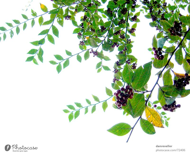 Unexpected Fruits II Leaf Tree Green Multicoloured Summer Friendliness Blossom Mature Ornament Decoration Bushes White Light Branch Berries Bright Shadow