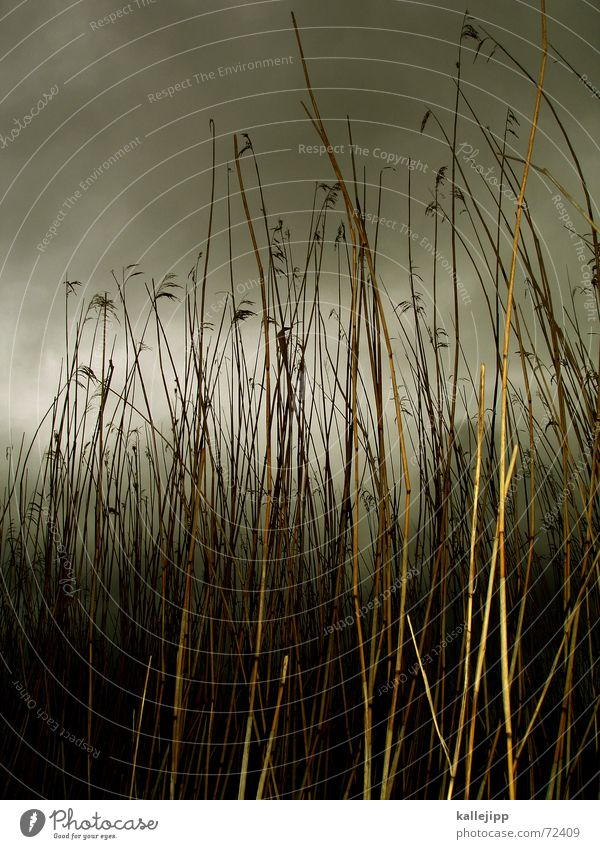 off through the hedge Common Reed Grass Pond Ocean Reeds Gale Clouds Storm Bog Landscape Rain nightfall weseby Nature National Park kallejipp