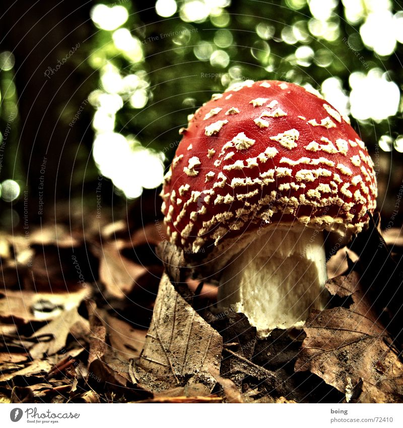 the drops of autumn Eroded Illusion Intoxicant Medicine man Japan Anesthetize Old Clump of trees Witch Mushroom Forest Fairy tale Leaf Poison Intoxication