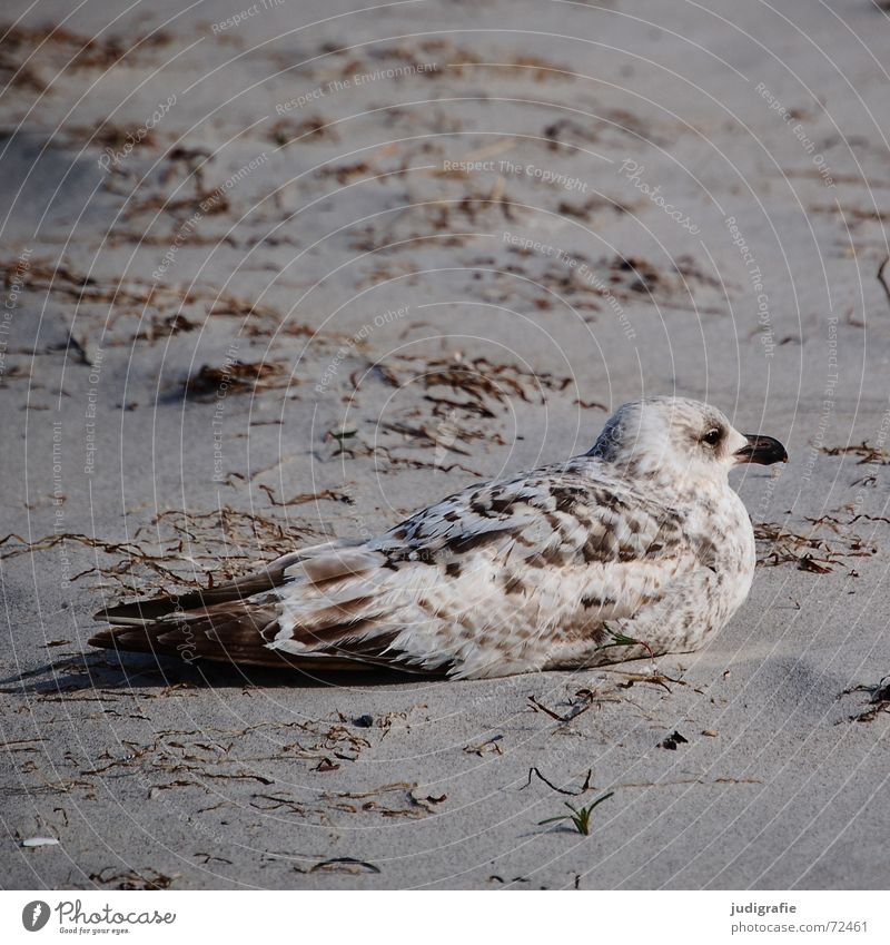 Well camouflaged Camouflage colour Custom-made Adjustment Lake Silvery gull Seagull Bird Feather Pattern Brown Beach Algae Ocean Coast Calm Serene disguised