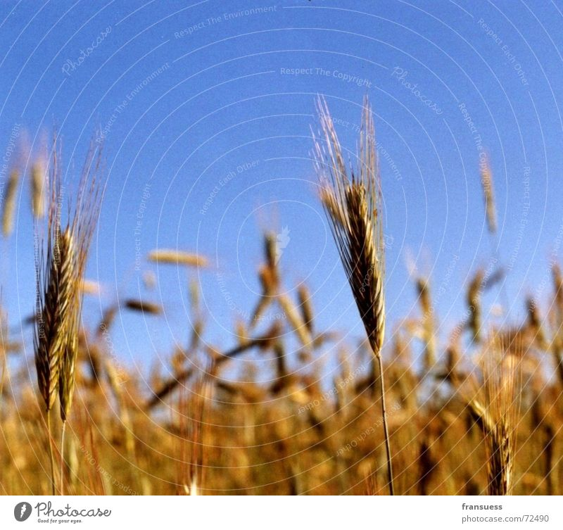 bread for the people Wheat Barley Rye Yellow Summer Relaxation Field Flour Grain Blue Sky