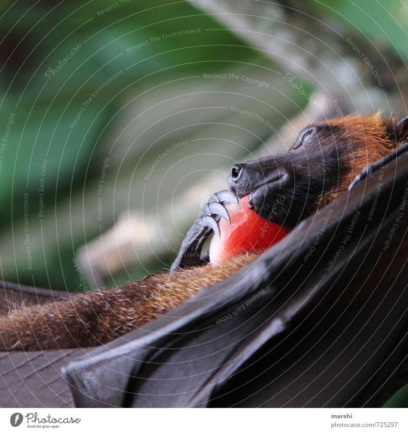 my Schaaaaaaatz Nature Animal Wild animal 1 Emotions Old World fruit bats Eerie Bali Bat Claw Wing Detail Colour photo Exterior shot