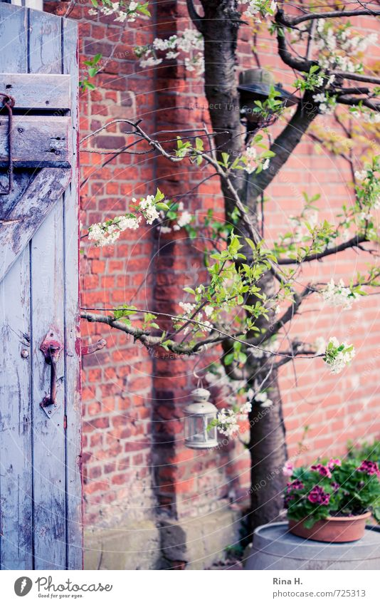 cherry blossom Tree Flower Wall (barrier) Wall (building) Door Authentic Cherry tree Geranium Storm laterne Wooden door Brick wall Country life Still Life