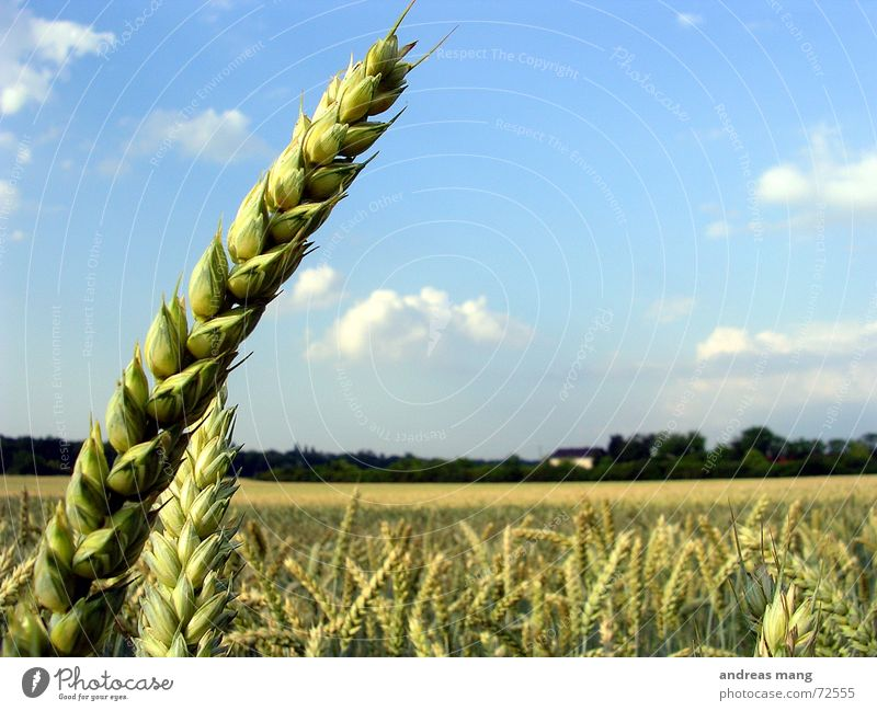 Nature Sky Blue Clouds Nutrition Loneliness Landscape Field Harvest Grain Individual Wheat Ear of corn Single