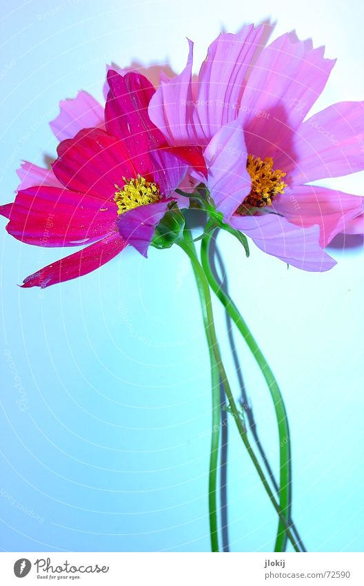 Cosmea Flower Cosmos Summer Pink Blossom Plant Table Subsoil Mat Green Blossom leave Drop shadow Light Stalk Yellow Beautiful Delicate Soft Nature Blue