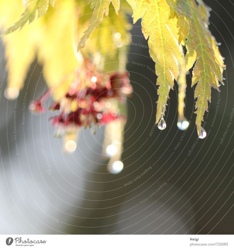 Morning fog droplets... Environment Nature Plant Drops of water Spring Bushes Leaf Blossom Maple tree Maple leaf Garden Glittering Hang Illuminate Growth