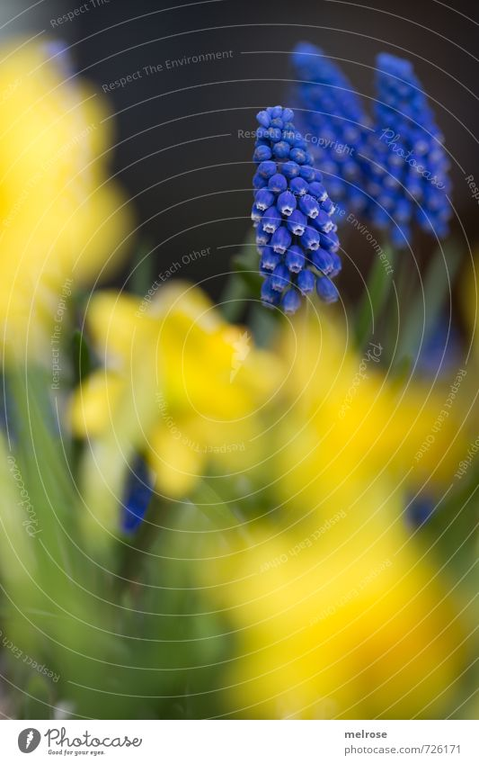 blue - yellow Plant Spring Flower Narcissus Muscari Garden Blossoming Relaxation Faded Growth Blue Brown Yellow Green Joie de vivre (Vitality) Spring fever Calm