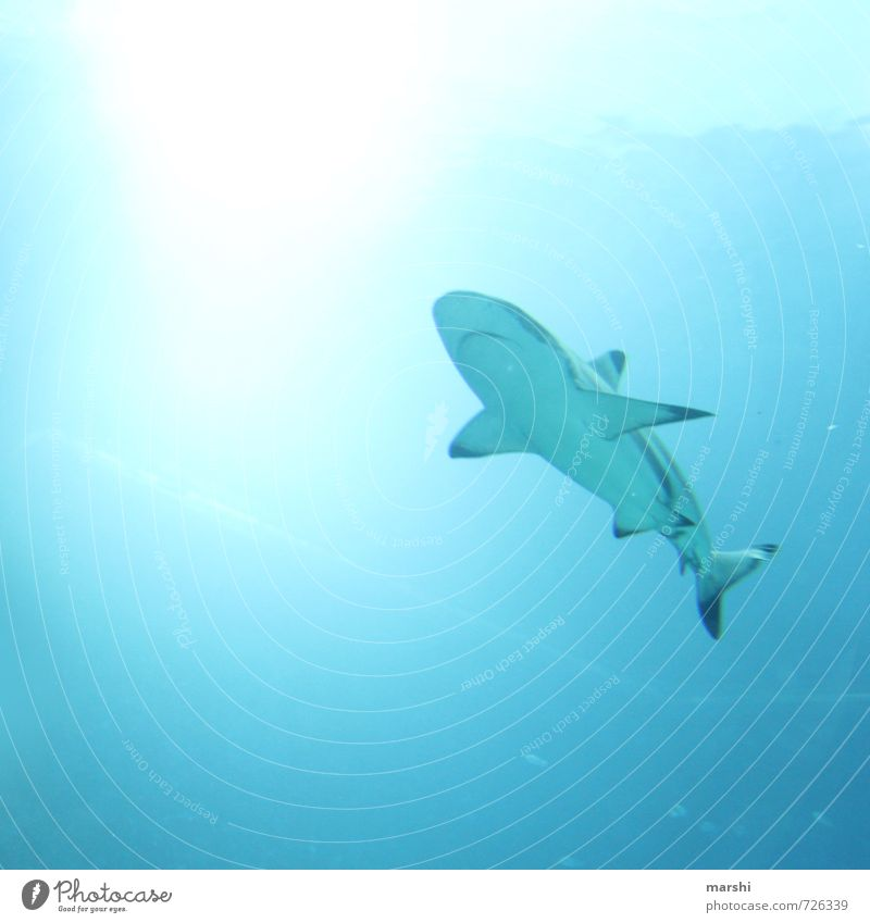 shark diving Nature Animal Wild animal 1 Aggression Emotions Shark Reef shark Dive Snorkeling Ocean Adventure Depth of field Threat haitauchen Fear Colour photo