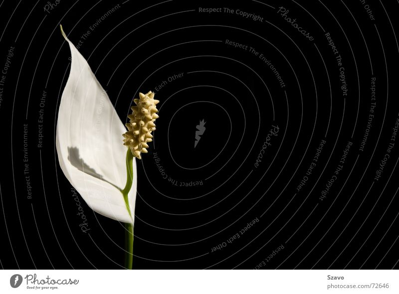 White Flower Plant Black Colour Blossom Orchid
