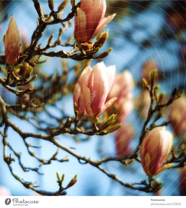 magnolia Magnolia plants Tree Blossom Pink Summer Easy Happiness Beautiful Plant Blue Sky Bud Blossoming