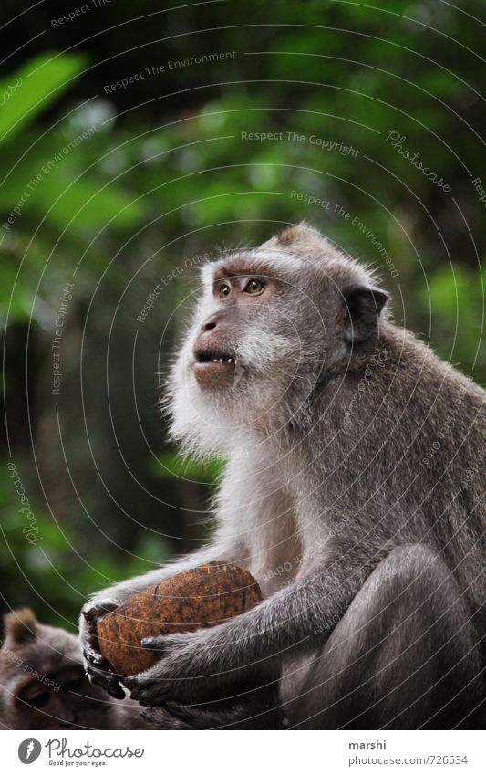 ...who stole the coconut... Nature Animal Wild animal Pelt Zoo Petting zoo 1 Moody Monkeys macaques Coconut Brash Aggression Bali Travel photography Threat