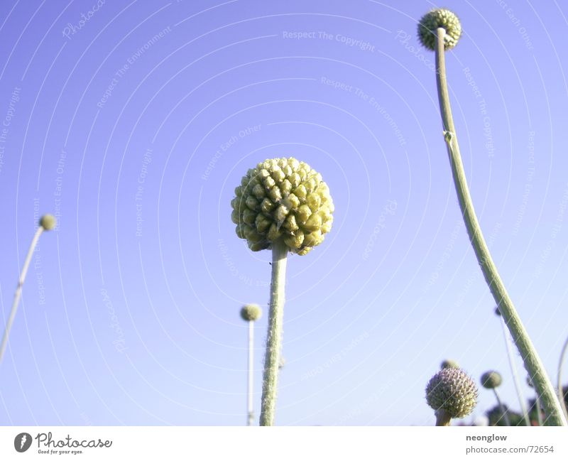 celestial globes Plant Abstract Stalk Sphere Sky Blue Bud