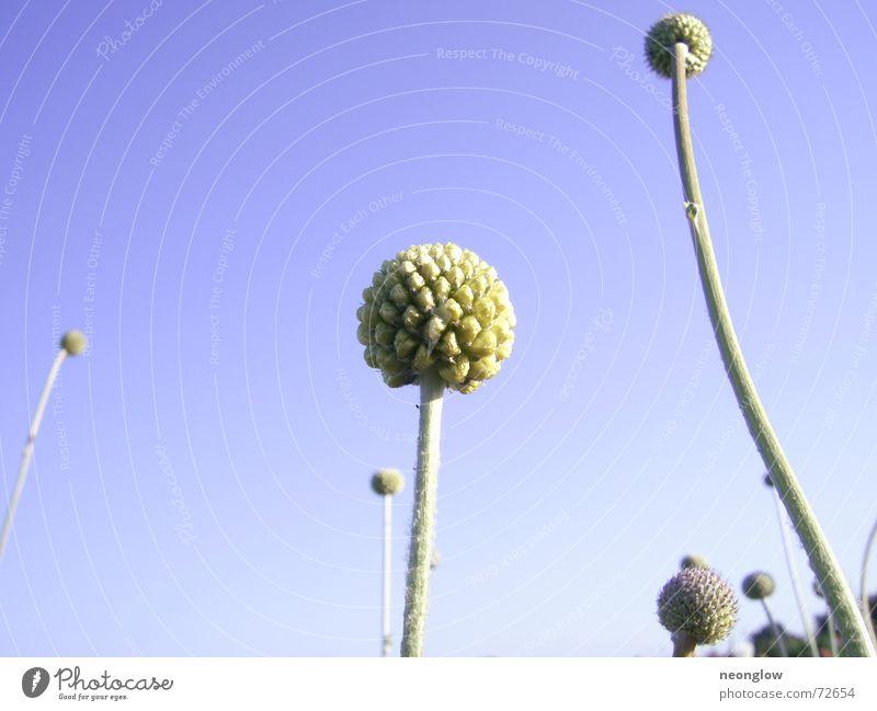 Sky Blue Plant Sphere Stalk Bud