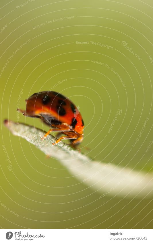 hoppa Nature Plant Animal Leaf Beetle Ladybird Insect 1 Sign To hold on Crouch Crawl Small Natural Cute Green Red Black Happy Movement Moody Hop Gust of wind