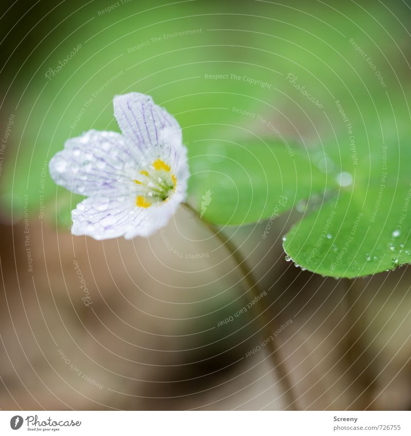 all of clover... Nature Plant Water Drops of water Spring Flower Leaf Blossom Clover Cloverleaf Forest Blossoming Fragrance Growth Elegant Small Near Yellow