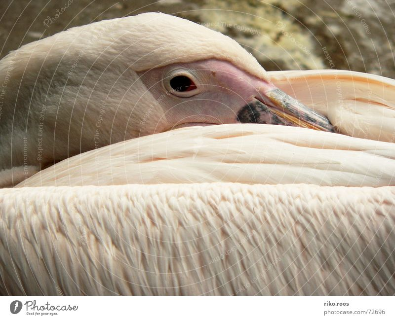 Pelican awakens Zoo Pink White Beak Bird Sleep Wake up Structures and shapes Feather well Eyes eye Skin