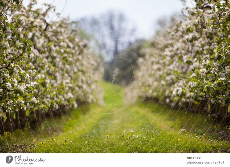 apple blossom row Fruit Apple Organic produce Nature Landscape Plant Spring Weather Tree Grass Blossom Agricultural crop Field Blossoming Growth Soft