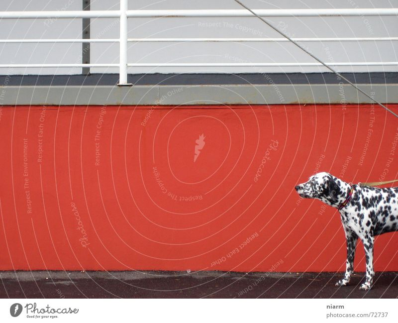watch out now Dog Wall (building) Red Dalmatian Expectation Loneliness Doomed Black White Spotted Chained up red wall Contrast careful Observe Dog lead Handrail