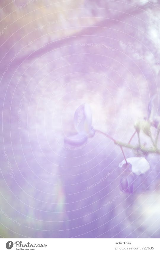 and everything becomes blurred... Plant Blossom Exotic Kitsch Violet Relaxation Emotions Hope Inspiration Ease Calm Glyzinia Bud Flowering plant