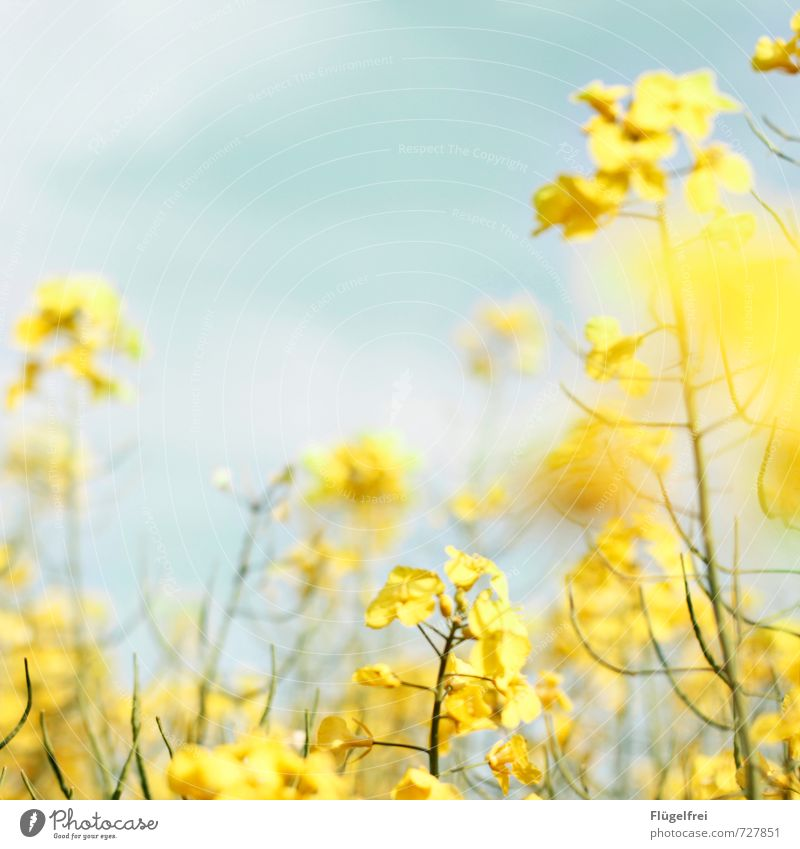 yellow Nature Plant Faded Canola Yellow Field Meadow Growth Blossoming Multicoloured Heaven Colour photo Exterior shot Copy Space top Day Sunlight