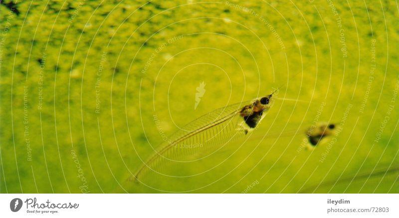 Water Green Pair of animals Glass Fish In pairs Dive Clarity Transparent Aquarium Algae Wels
