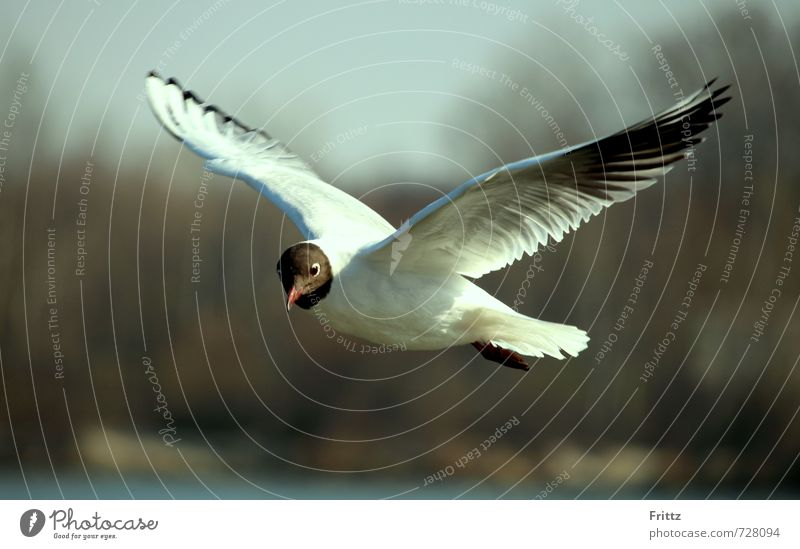 reconnaissance flight Nature Animal Wild animal Bird Wing Black-headed Gull Seagull 1 Observe Flying Near White Curiosity white bird with black head