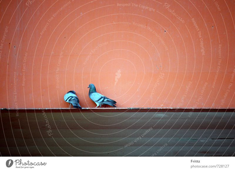 Nature Blue Red Animal Wall (building) Emotions Wall (barrier) Gray Bird Wild animal Pair of animals Wing Infatuation Pigeon Sympathy Rutting season