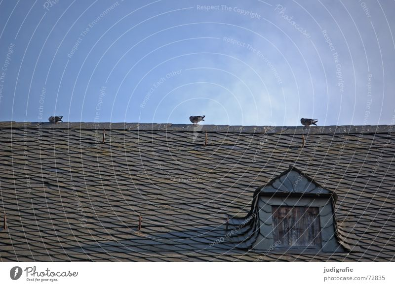Pigeons on the roof 3 Bird Roof Gable roof Roof ridge Cheek Gullet Cover Checkmark Brick Roofing tile Calm Window Dormer House (Residential Structure) Building