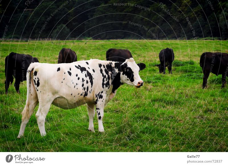 White Loneliness Meadow Grass Cow Patch Cattle Animal Surround