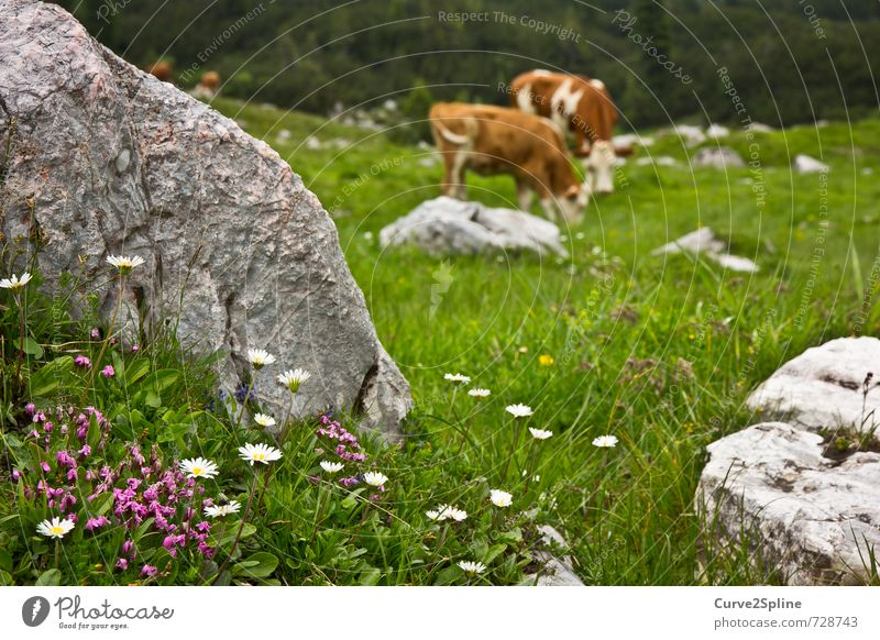 alpine meadow Nature Plant Animal Spring Flower Meadow Rock Mountain Farm animal Cow Pelt 2 Herd Pair of animals Contentment Daisy Violet Stone Cowhide
