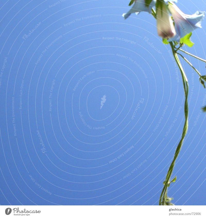 Last summer days II Violet Delicate Creeper Flower Blossom Beautiful Plant Summer Autumn Horizon Green Brave Caresses Blue Sky Climbing Loop Wind