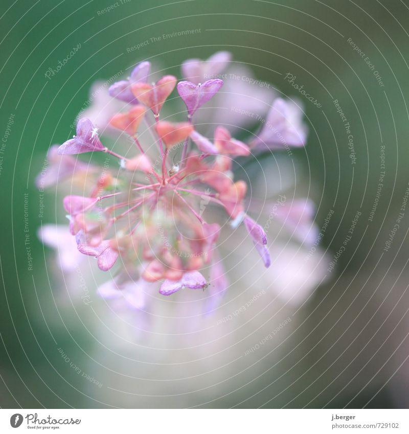 Nature Plant Summer Flower Leaf Love Spring Blossom Exceptional Pink Esthetic Heart Violet Fragrance Exotic Wild plant