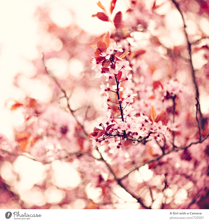AST / I the best week of the year Environment Nature Plant Spring Tree Blossom Garden Park Blossoming Authentic Fragrance Exotic Fantastic Natural Pink