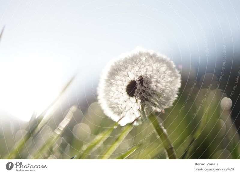 PusteMorgen Nature Drops of water Sky Spring Flower Grass Meadow Fresh Wet Blue Green Dandelion Dew Blade of grass Colour photo Exterior shot Deserted