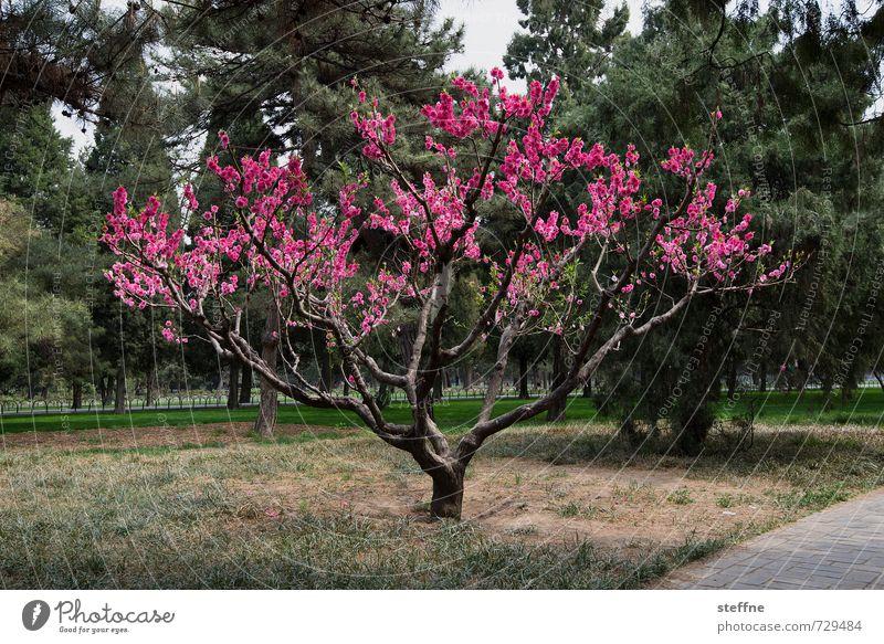 Tree Spring Pink Kitsch China Spring flower Beijing