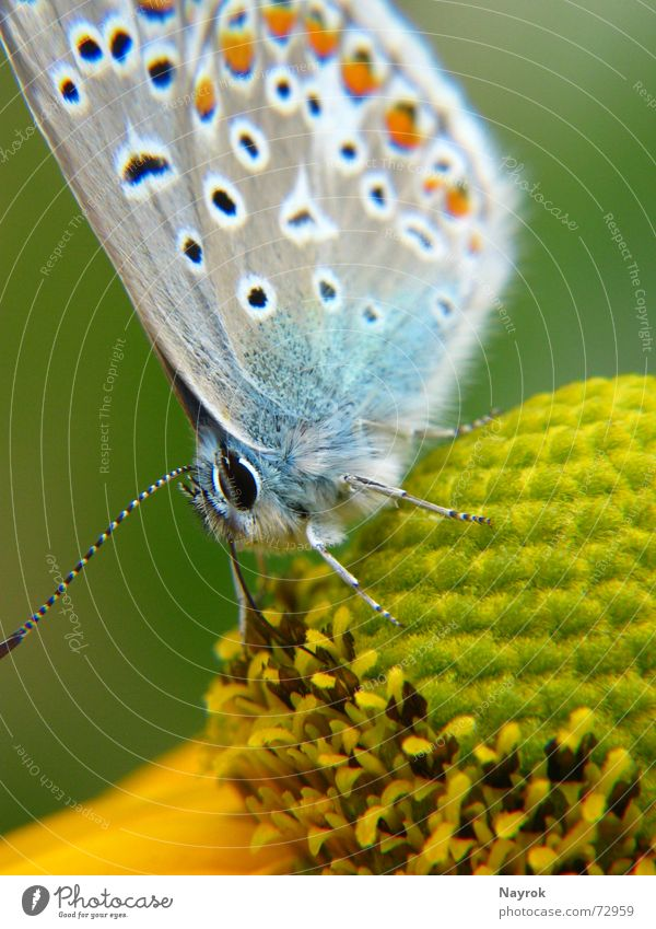 Blue on blossom Butterfly Flower Polyommatinae Insect Macro (Extreme close-up) Stamen Nature Nectar Close-up