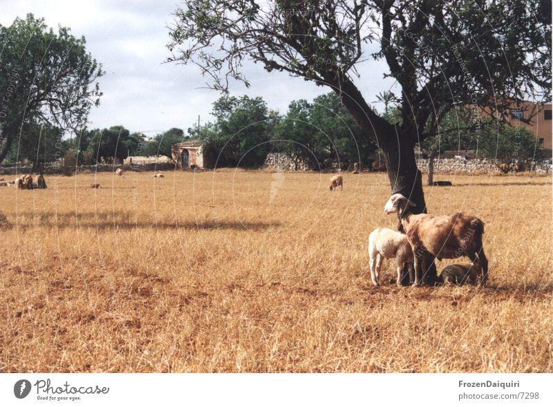 Sun Red Warmth Brown Physics Hot Sheep Majorca Drought