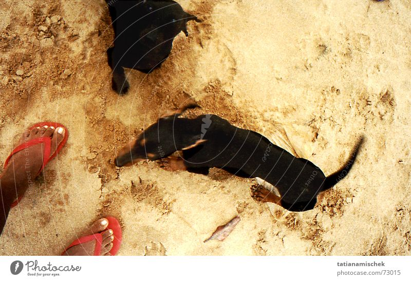 Beach Dog Feet Sand Sandal Flip-flops Dachshund