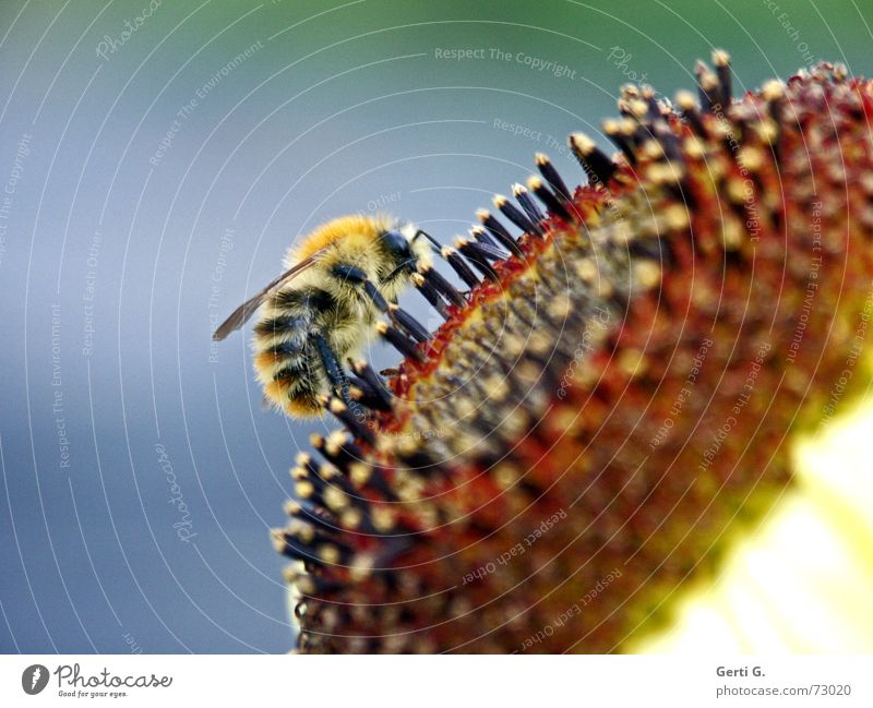 Nutrition Sweet Wing Insect Bee Fat Sunflower Pollen Striped Bumble bee Thorn Honey Pierce Stamen Honey-comb