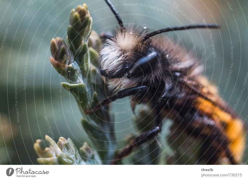 Hairy on cypress Environment Nature Plant Animal Bee Pelt 1 Concentrate Calm Colour photo Subdued colour Exterior shot Macro (Extreme close-up) Deserted