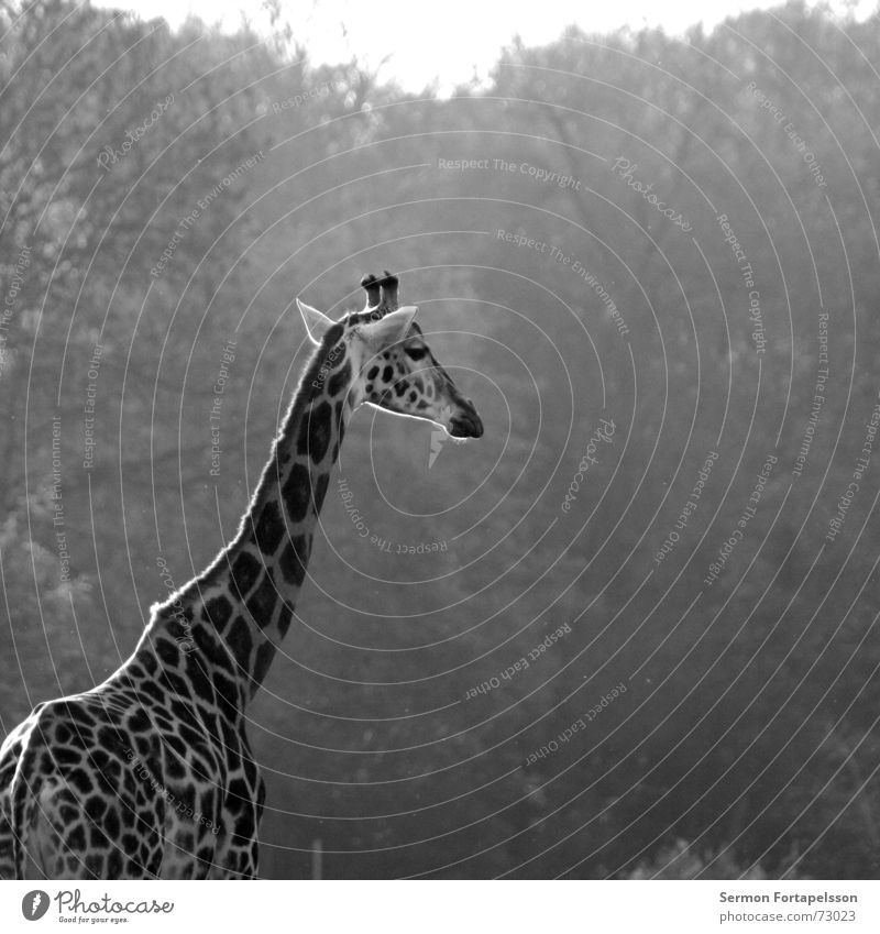 = : >------------- Animal Zoo Africa Leipzig Forest Long Large Loneliness Wood flour Giraffe Morning Sun Antlers Neck Level Tall Think Looking deer high height