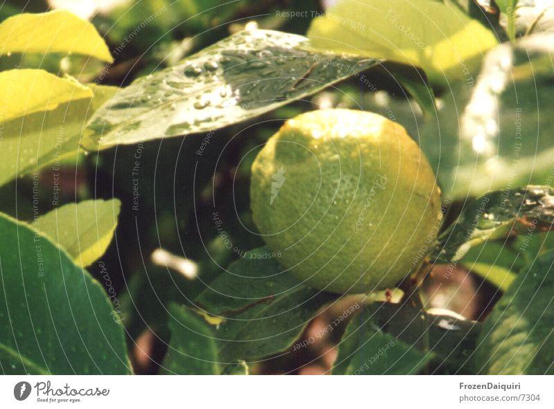 lemon tree Lemon Green Yellow Drops of water Light Branch Sun