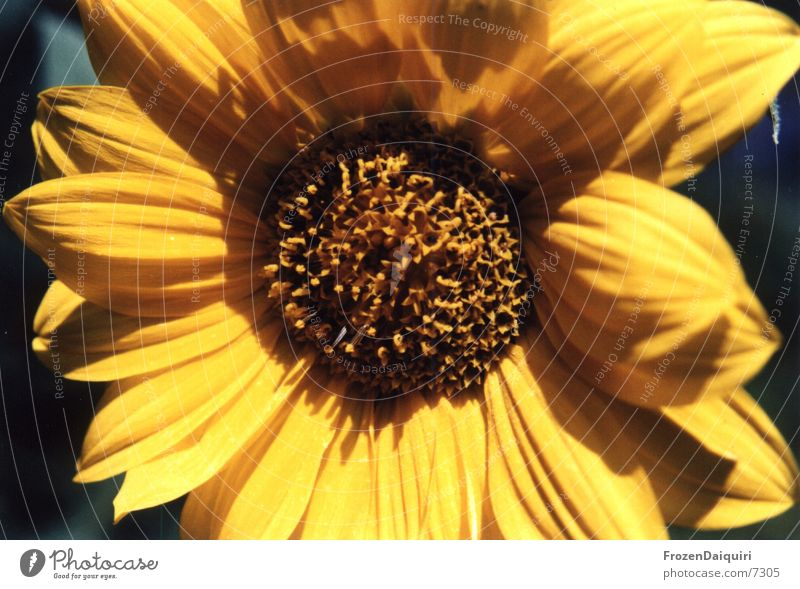 Sun Flower Summer Yellow Brown Insect Joie de vivre (Vitality) Bee Sunflower Brilliant
