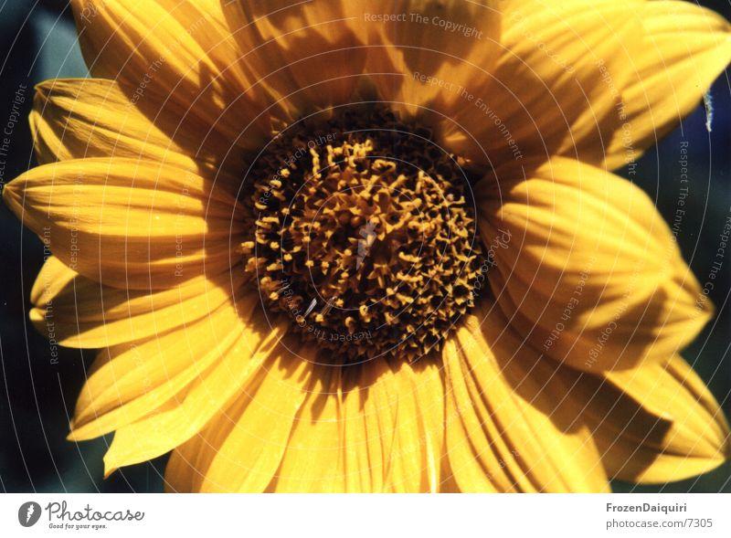 Sun Flower Summer Yellow Brown Insect Joie de vivre (Vitality) Bee Sunflower Brilliant