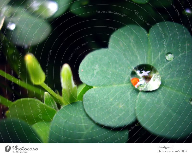 Plant Green Red Life Blossom Happy Garden Rain Dream Fresh Drops of water Wet Sphere Damp Clover Macro (Extreme close-up)