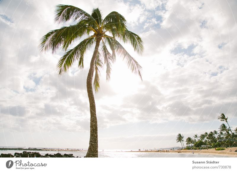 palm on kauai Tree Exotic Beach Bay Oasis Dream Palm tree Palm frond Hawaii Kauai Sunlight Back-light Clouds Beach vacation Paradise Gorgeous Colour photo